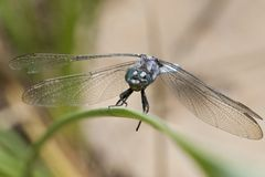 Keeled skimmer dragonfly Royalty Free Stock Photography