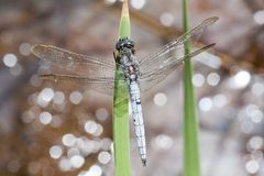Keeled skimmer dragonfly Royalty Free Stock Image