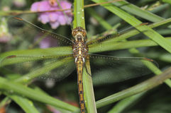 Keeled Skimmer Royalty Free Stock Image