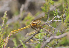 Keeled Skimmer Royalty Free Stock Images