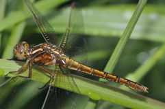 Keeled Skimmer Stock Photography
