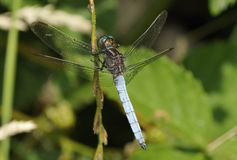Keeled Skimmer Dragonfly Stock Photography