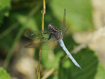 Keeled Skimmer Dragonfly Royalty Free Stock Images