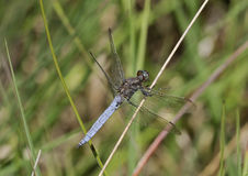 Keeled Skimmer Royalty Free Stock Photo