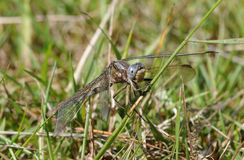 Keeled Skimmer Dragonfly Stock Image