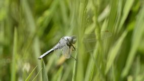 Keeled skimmer, Orthetrum coerulescens stock video