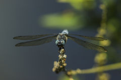 Keeled skimmer (Orthetrum coerulescens) Royalty Free Stock Photos