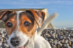 Keen. Bright eyes and wagging tail show how keen this little Jack Russell is for a game stock photography