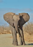 Keep back. Young African elephant protests to the driver Royalty Free Stock Photo