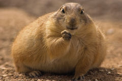 Keep eating. Chubby prairie dog eating Royalty Free Stock Photo