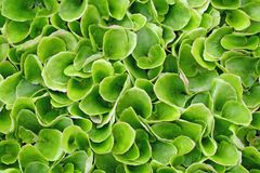 Keep growing green leaves of lettuce Stock Image