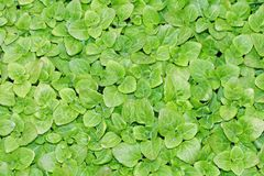 Keep growing green leaves of lettuce ready to harvest Stock Photos