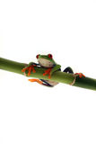 Keep Hanging In There. Red-Eyed Tree Frog hanging from  bamboo and isolated on white background Stock Image