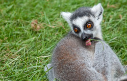 Keep off the grass. A young looking ringtailed lemur with a blade of grass in it`s mouth Stock Image