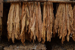 Keep tobacco leaves in dry and airy warehouse. Drying out the tobacco leaves is one of the process of the cicaratte production process Royalty Free Stock Images