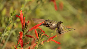 Keep In Touch. A beautiful female hummer and a set of wild flowers Stock Photo