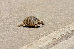 Keep walking-  turtle crossing the road. In sunny day Royalty Free Stock Image