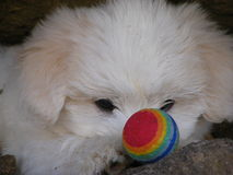 Small Coton puppy with eye on ball. 10 week young Coton de tulear puppy concentrating on a small multi colour ball ,while playing outdoors Royalty Free Stock Images