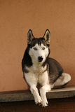 Keeper of the house. Husky dog royalty free stock photo
