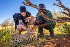 Keeper and a tourist petting a cheetah. Mariental, Namibia - March 25, 2019 - Keeper and a tourist petting a cheetah stock photos