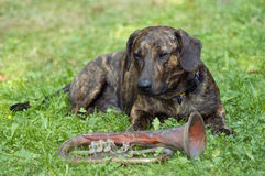 Keeper of the trumpet. Humorous shot of the dog - guardian of trumpet royalty free stock photography