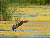 Keeping the balance. A juvenile Grey Heron tries to keep his balance after landing in a difficult area covered with algae. Delta del Llobregat, northeast Spain Royalty Free Stock Photos