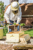 Keeping the Bees. A beekeeper installs a new package of bees in a hive Stock Photography