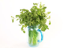 Keeping Cilantro Fresh Stock Photos