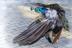 Keeping Feathers Numbered. A Peacock sorting out his feathers at a local zoo Royalty Free Stock Images