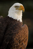 Keeping My Eye On You. Closeup of a beautiful Bald Eagle against a blurred background Royalty Free Stock Photography