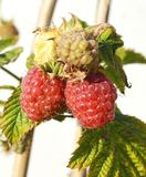 Keeping pace with raspberry garden. Image raspberries on a light background Royalty Free Stock Photos