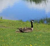 Keeping warm. Baby goslings keeping warm on a spring morning Royalty Free Stock Photos