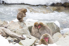 Keeping Warm: Snow Monkeys Embrace. Wild red-face, fuzzy snow monkeys embrace each other for warmth on some rocks by a running river in wintertime, while a wet Royalty Free Stock Photography