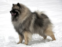 keeshond στάση χιονιού Στοκ Φωτογραφίες