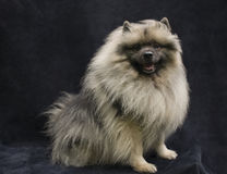 Keeshond Stock Photos