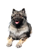 Keeshond Royalty Free Stock Photo