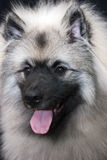 Keeshond Stock Photography
