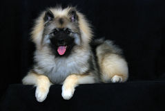 Keeshond Stock Photo