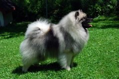 Keeshond Photographie stock