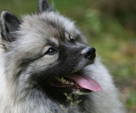 Keeshond Royalty Free Stock Photography
