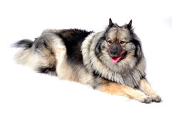 Keeshond dog Stock Photo