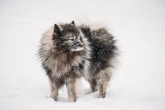 Keeshond Dog Play Outdoor In Snow. Winter Season. Dog Training. Funny Keeshond Dog Play Outdoor In Snow. Winter Season. Dog Training Outdoors stock photo