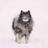Keeshond Dog Play Outdoor In Snow. Winter Season. Dog Training Outdoors Royalty Free Stock Photo
