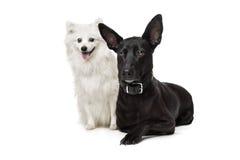 Keeshond (Dutch Barge Dog) and a black Shepherd Stock Photo