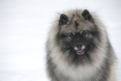 Keeshond head shot Stock Photos