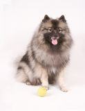 Keeshond posing with tennis ball Stock Photos