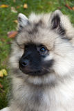 Keeshond Puppy Stock Photos