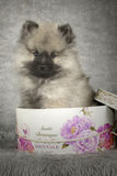 Keeshond Puppy Royalty Free Stock Images