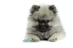 Keeshond Puppy Stock Image