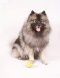 Keeshond que presenta con la pelota de tenis Fotos de archivo